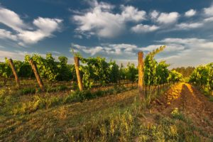 MDZ-wine-tours_vineyards